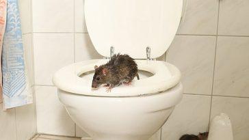 Populațiile de șobolani din Marea Britanie au crescut în timpul restricțiilor, iar acum rozătoarele invadează casele