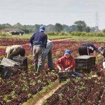 Agricultura din Regatul Unit, aproape de colaps. Fermierii cer întoarcerea românilor la muncă