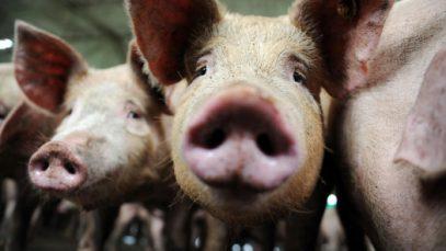 Criza porcilor din Marea Britanie. Animale sănătoase, sacrificate din cauza Brexitului