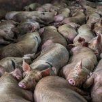 Marea Britanie: Porci sănătoși uciși și aruncați la gunoi din cauza lipsei de muncitori